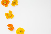 yellow and orange poppies on white