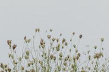 dried flowers in a field