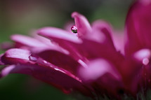 water droplet on a pink flower