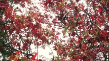 Fall tree foliage, blowing in the wind