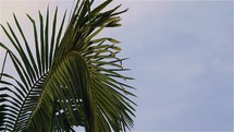 Palm fronds in wind late afternoon