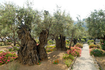 Garden of Gethsemane olive trees.