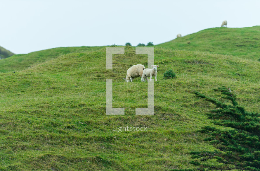 sheep and lamb on a hill