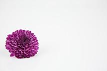 single purple mum on white