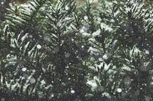 Evergreen Branches Covered in Snow Texture with Falling Snow