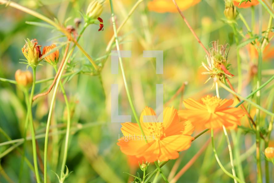 golden yellow flowers