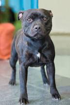 Portrait of black staffordshire terrier posing