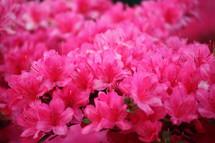 fuchsia azalea flowers
