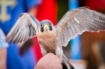 Peregrine Falcon, Bird of prey  with open wings