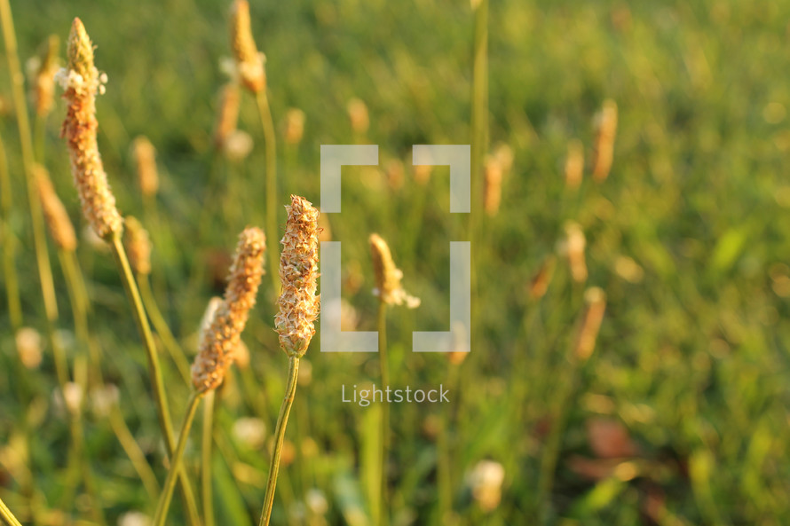 tops of tall grasses outdoors