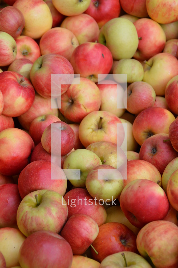 rich harvest of apples