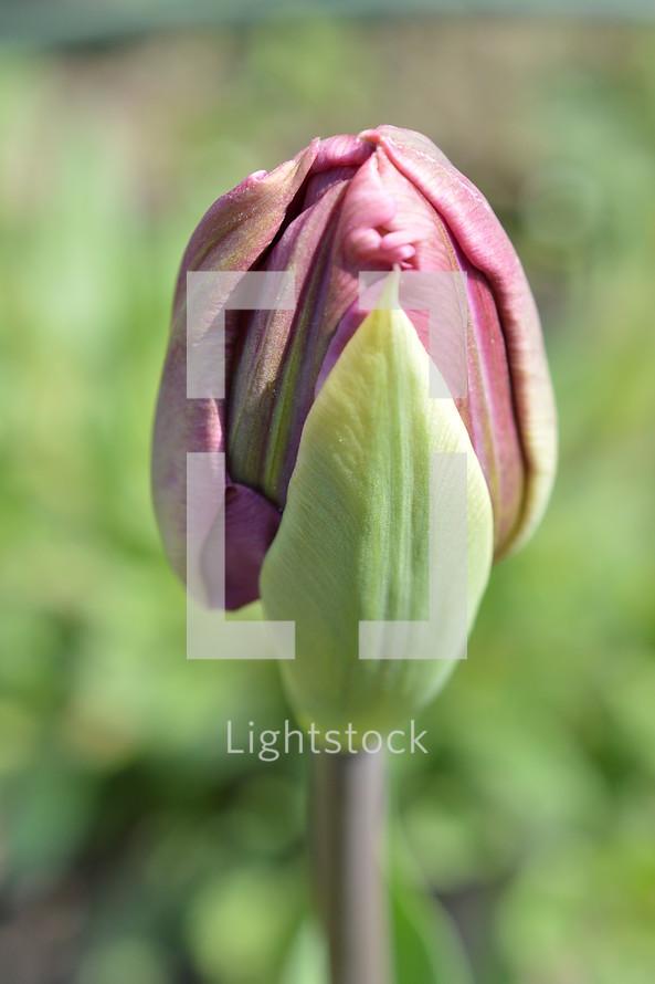 tulip flower bud