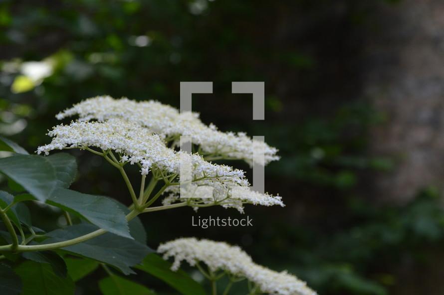 elderflower in front of dark background