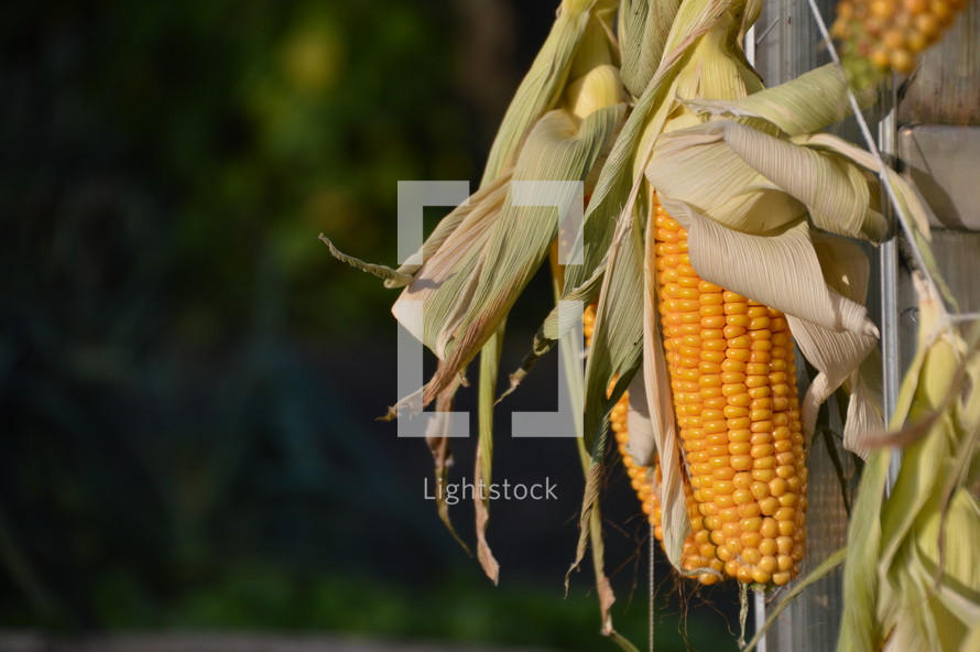 harvested corncobs. 