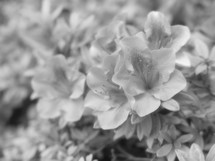 azalea flowers in black and white