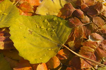 leaves with dew. Autumn, fall, season, harvest.