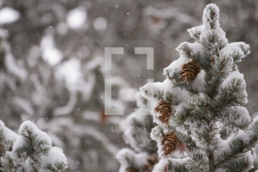 Snow covered evergreen boughs.