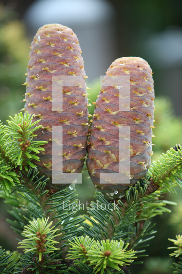 young pine cone