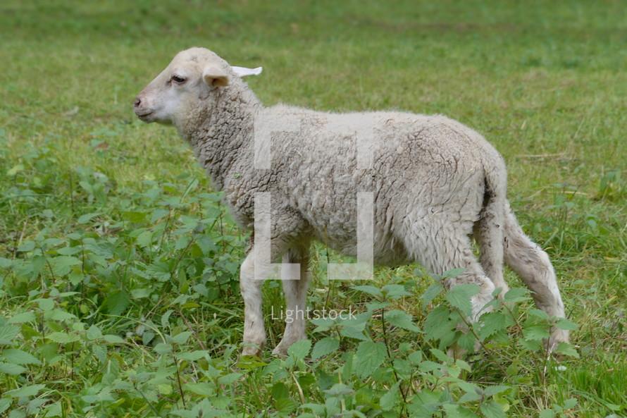 a lamb in grass