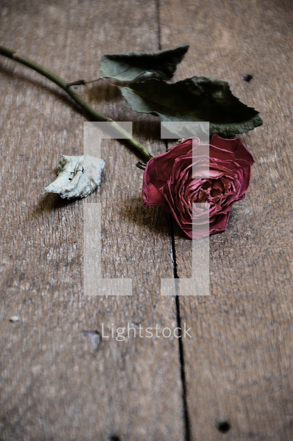 withered red rose on wooden floor