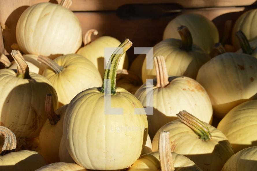 pile of white pumpkins