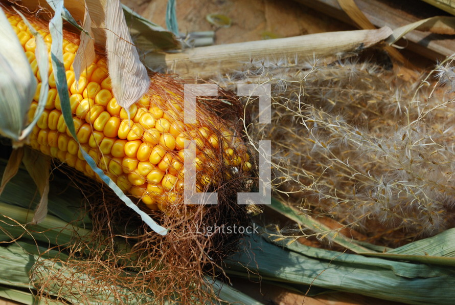 corn cob on the ground