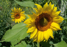 Two sunflower plants blooming in the sun in a backyard garden on a sunny morning in a rural garden setting.