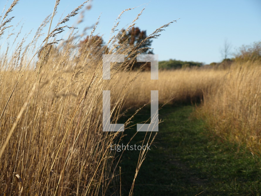 a green path in a field of wheat