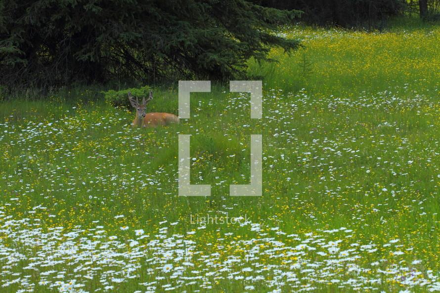 deer laing down in field of flowers