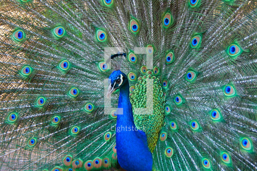Peacock's shimmering display