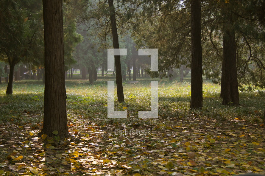 Field of Fall trees