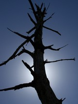 Dead Tree and dead branches that once bore fruit standing in the sunlight until it withers away.