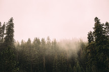 fog at the top of trees in a forest