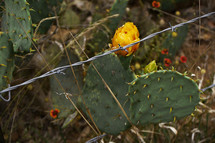 prickly pear cactus and barbed wire
