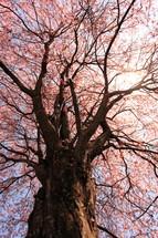Lofty tree.