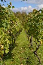 vineyard with rows of plants. 