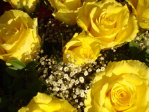 yellow roses, 