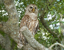 Brown owl in a tree