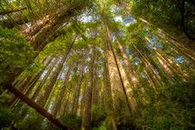sunlight on a redwood forest