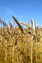 Dry wheat in an open field, ready for harvest