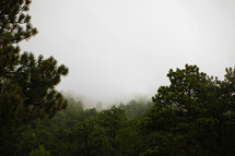 pine forest tree tops