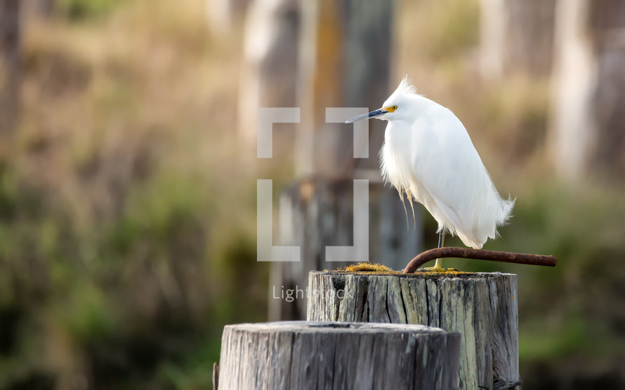 white egret on a piling