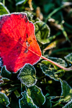 A red leaf among green leaves shining frozen with morning frost
