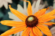 A flower with orange petals