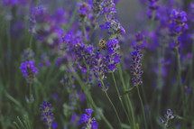A honey bee flying around the lavender.