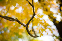 tree branch in front of yellow leaves
