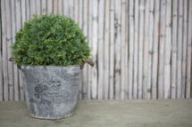 plant in a galvanized bucket