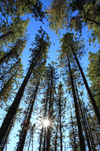 pine forest and sun