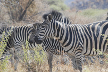 Zebra with their distinctive black and white stripes