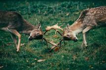 deer battling